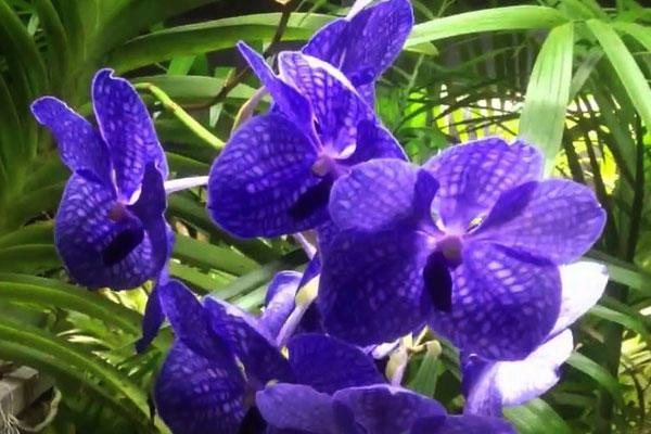 Голубой цветок орхидеи в природе