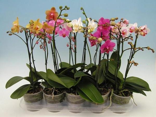 Разноцветные цветы орхидеи в горшках