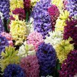 Разноцветные цветы гиацинта