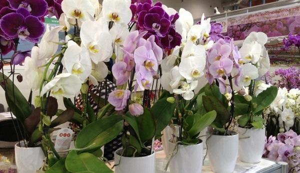 Как поливать орхидею во время цветения: рекомендации по уходу