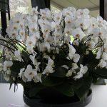 Белые цветы орхидеи в горшке