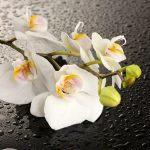 Орхидея в каплях воды