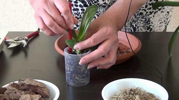 Пересадка орхидеи в горшок