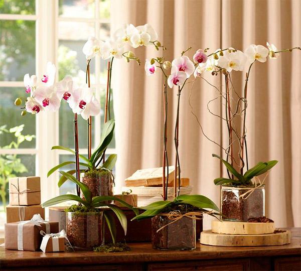 Комнатные орхидеи в горшках