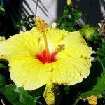 Желтый цвет китайской розы
