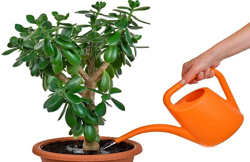 Пересадка денежного дерева в домашних условиях
