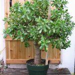 Высокое денежное дерево