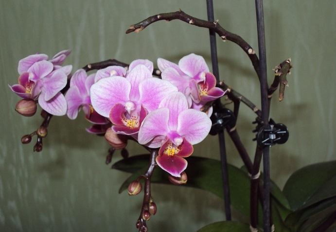 Во время цветения нельзя пересаживать цветок