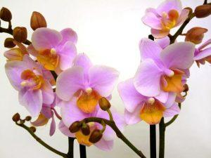 Внешний вид необычной мультифлоры орхидеи