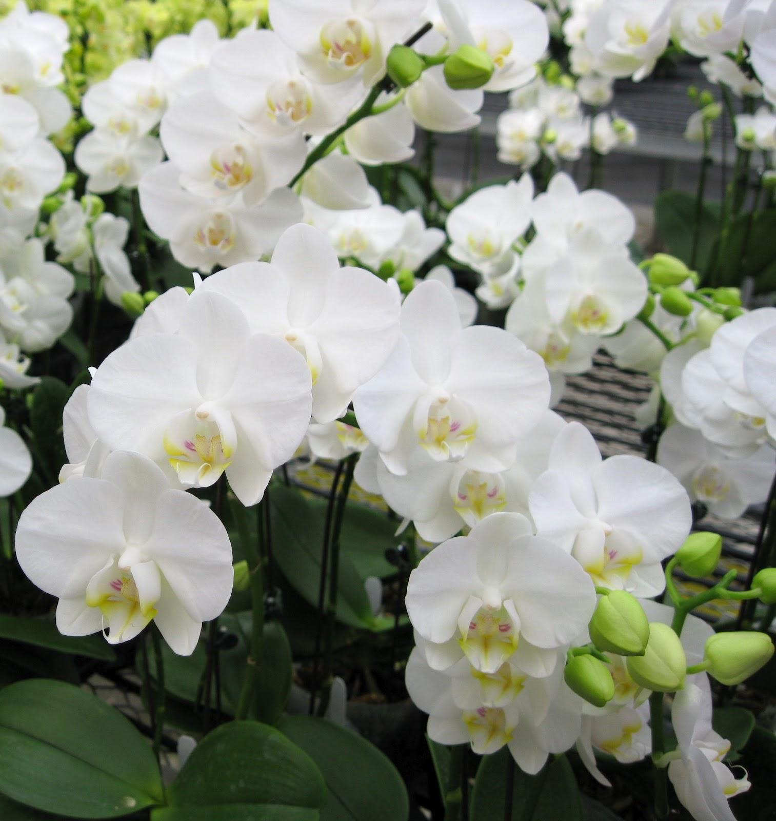 Орхидея разновидности Амабилис