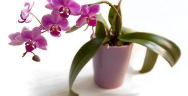 Орхидея с ддинными листьями