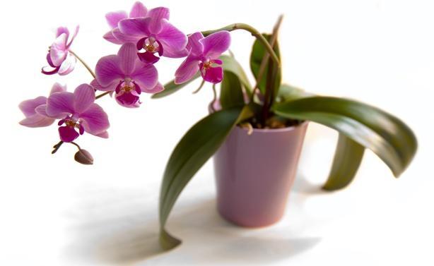 Орхидея с длинными листьями