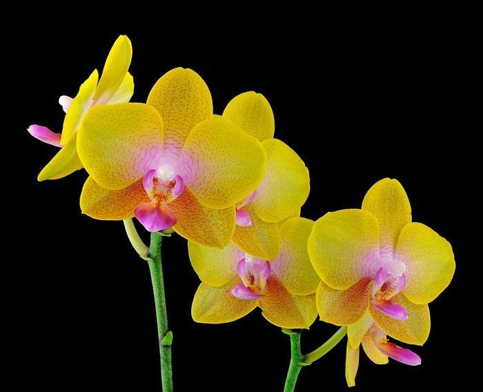 Освещение для желтого фаленопсиса