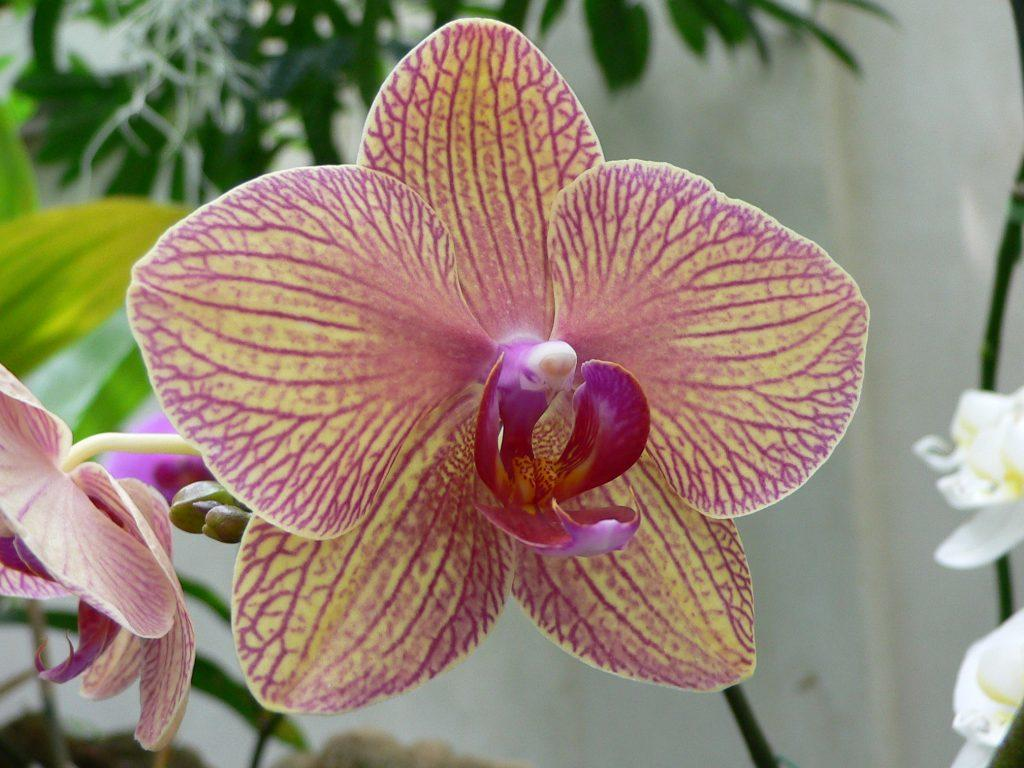 Орхидея разновидность Сандера