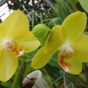 Орхидея Phalaenopsis I-Hsin Sunflower 'Yellow'
