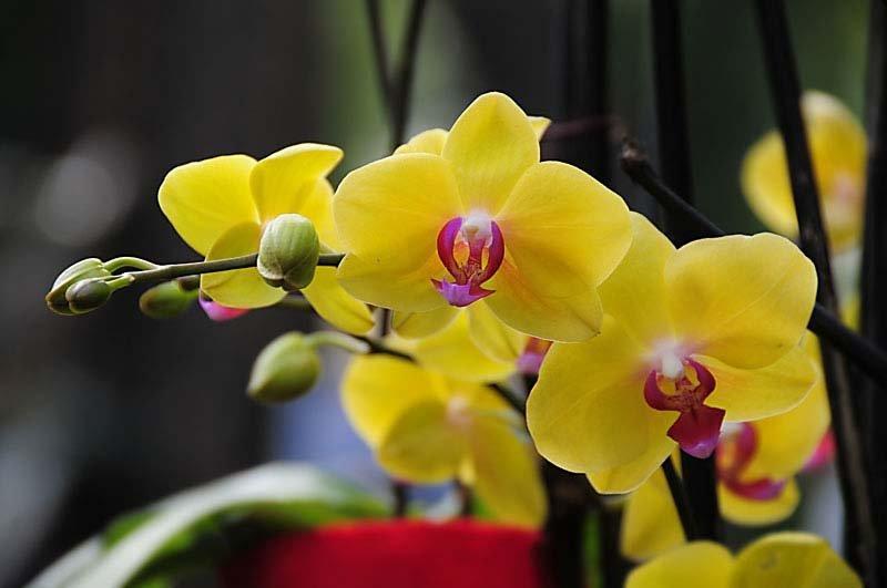 Желтый фаленопсис цветение