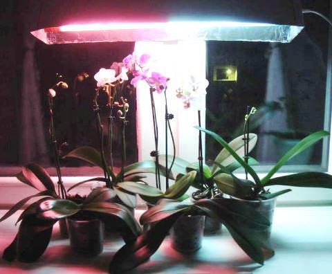 Дополнительное освещение для фаленопсиса
