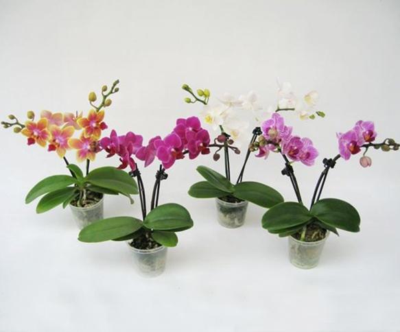 Фаленопсис мини орхидея