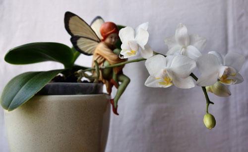 Мини-орхидея в горшке