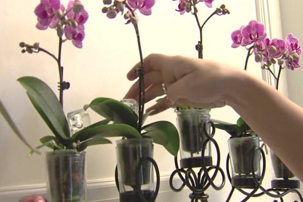 Что делать, если не растут листья у фаленопсиса