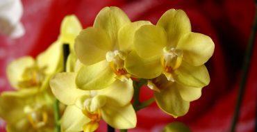 Красивые желтые цветки орхидеи