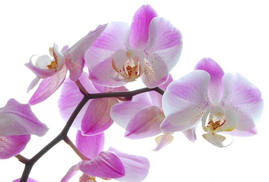 Орхидея разновидность Розовая