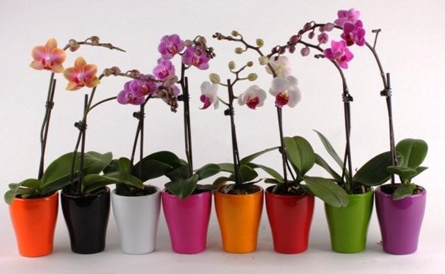 Как правильно вырастить орхидею из китайских семян