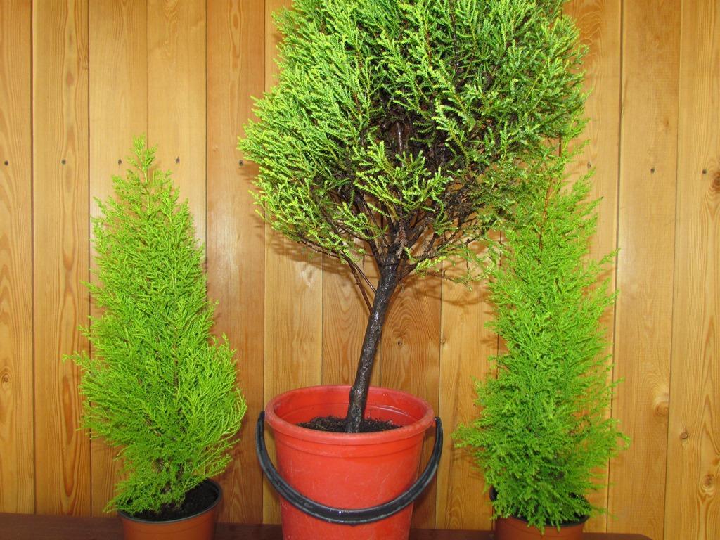 Выращивание комнатного кипариса в домашних условиях