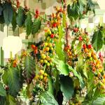 Растение Кофе Арабика с плодами