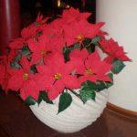 Комнатный цветок Пуасенттия