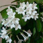 Крупные цветки белого жасмина