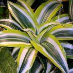Комнатная пальма - Драцена