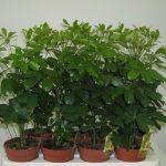 Маленькие растения Шеффлеры