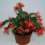 Интересный окрас кактуса декабриста