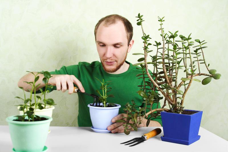 Денежное дерево условия выращивания 70