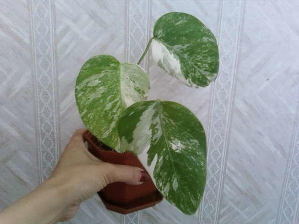 Монстера заостренная - растение комнатное