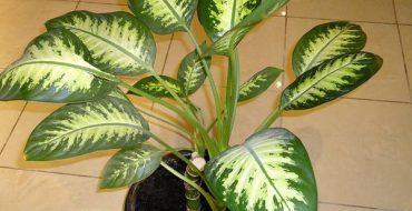 Небезопасное комнатное растение в доме