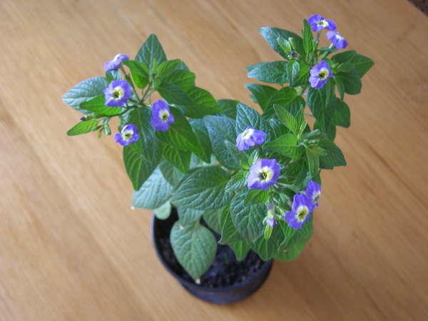 Выращивание Броваллии в домашних условиях