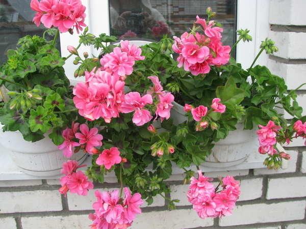 Выращивание Пеларгонии в домашних условиях