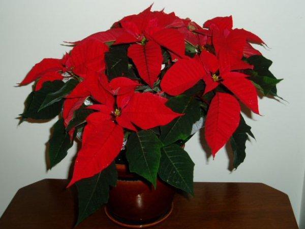 Комнатный цветок Пуансетия
