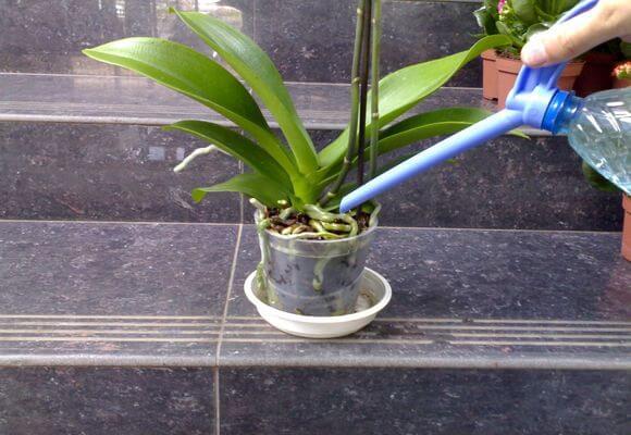 В период цветения орхидею поливают 3–4 раза в неделю