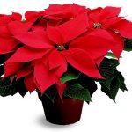 Цветок Рождественская звезда в горшке