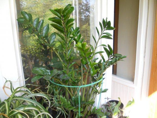 Крупное комнатное растение замиокулькас