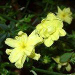 У жасмина желтые красивые цветы