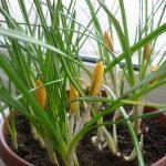 Выращивание глориозы в домашних уловиях