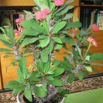 Растение молочай с цветками