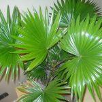 Выращивание пальмы в квартире