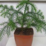 Арукария - выращивание в домашних условиях