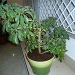 Растение Шефлера в горшке