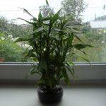 Выращивание в домашних условиях сандеры